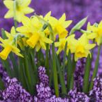 Germany --- Yellow Daffodils in Purple Heather --- Image by © Markus Botzek/Corbis