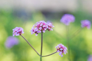 flower-287072_640 Majella