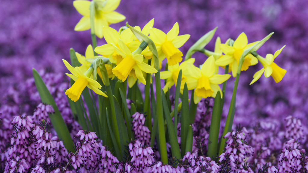 Germany --- Yellow Daffodils in Purple Heather --- Image by © Markus Botzek/Corbis