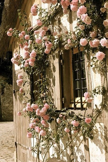 Cottage Rose Climber